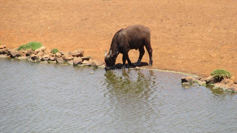 Baby Buffalo. Buffalo at Alzu Lowveld SouthAfrica stock photo