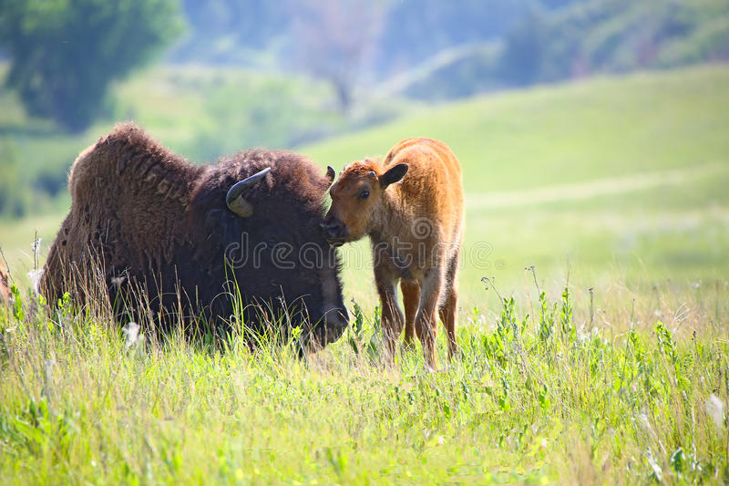 Baby buffalo with mom bison stock photos