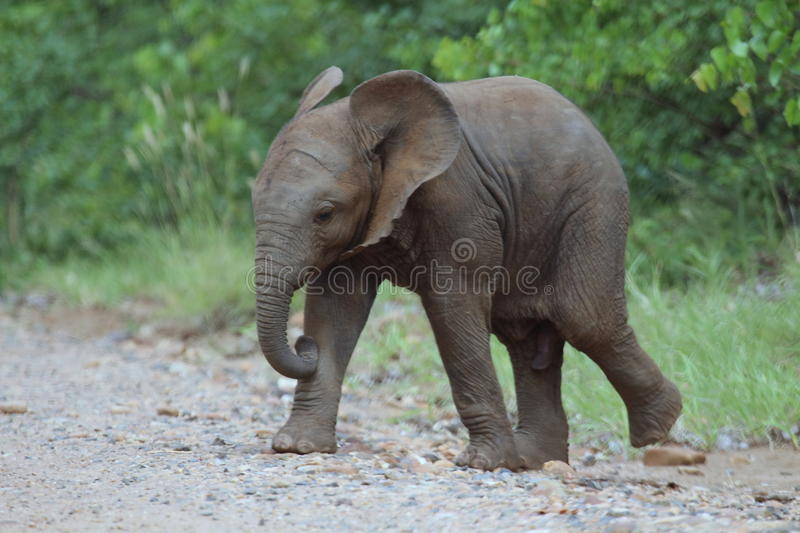 Baby bull elephant. Side view of a baby bull elephant walking with green vegetation in the background royalty free stock image