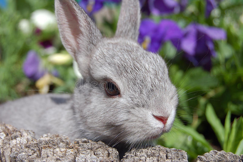 Download Baby bunny stock image. Image of eyes, violets, nose, cute - 9819483