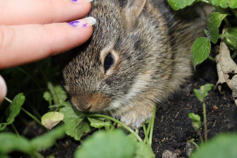 Baby Bunny Being Pet im Garten stockfotografie