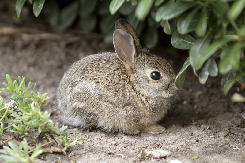 Brown Baby Bunny Rabbit hiding in the bushes stock photography