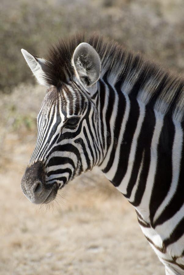 Free Baby Burchell S Zebra Stock Photo - 15216950