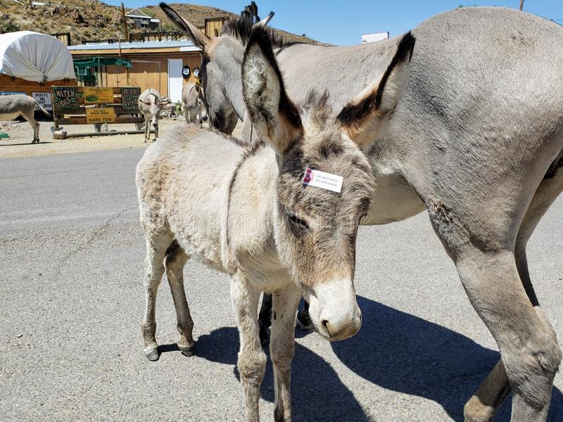 Baby burro with label on its head reading, `Stop; Do not feed me anything.` in Oatman, Arizona royalty free stock image