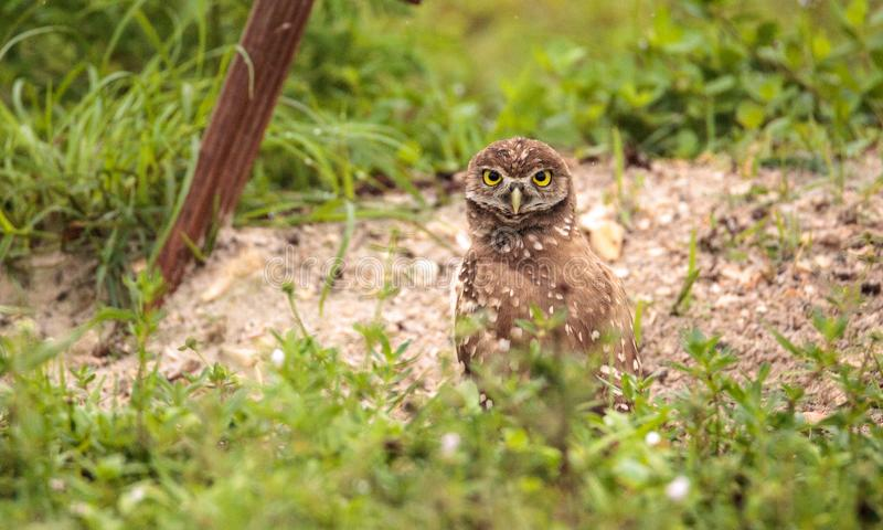 Baby Burrowing owl Athene cunicularia perched outside its burrow royalty free stock image