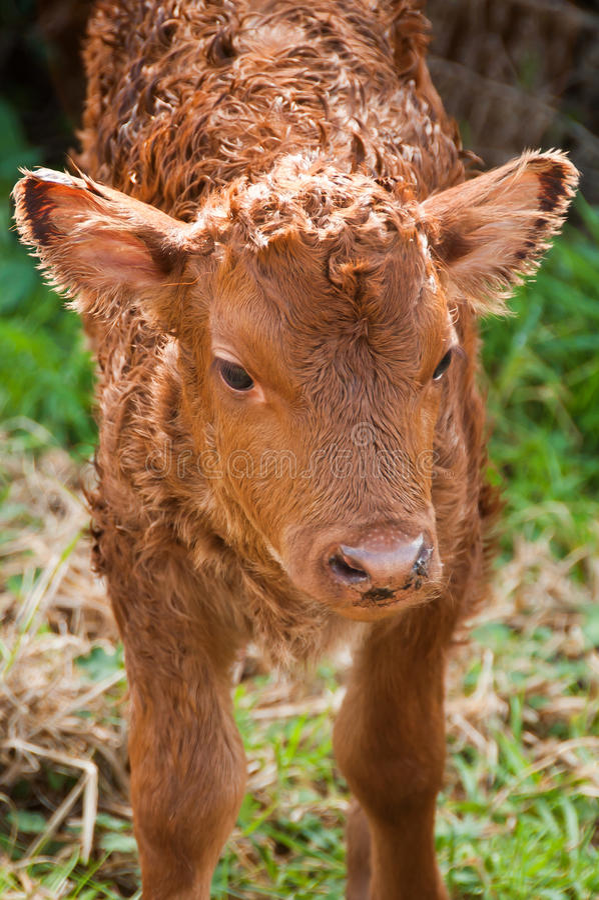 Download Baby calf stock photo. Image of heifer, calf, baby, rural - 26074440