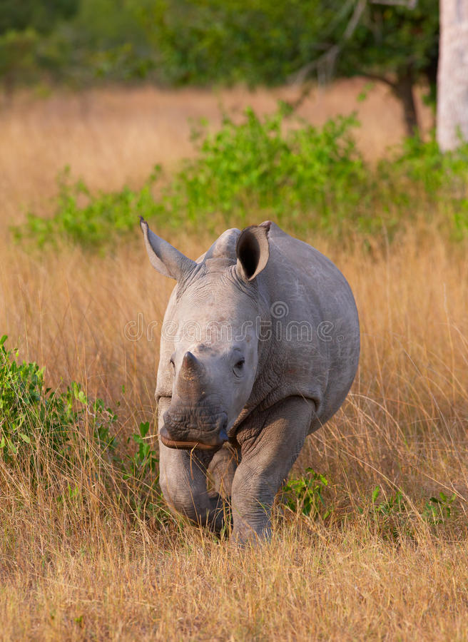 Baby calf white rhinoceros. Baby calf white (square-lipped) rhinoceros (Ceratotherium simum) walking in the nature reserve in South Africa stock images