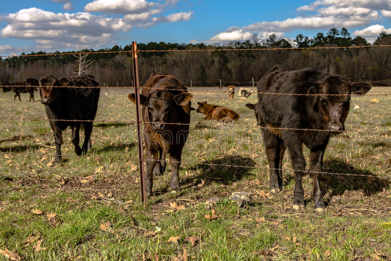 Baby calves in spring pasture. Angus crossbred calves standing behind a barbed wire fence in an early springtime pasture royalty free stock images