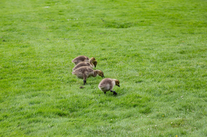 Baby Canada Geese royalty free stock photo