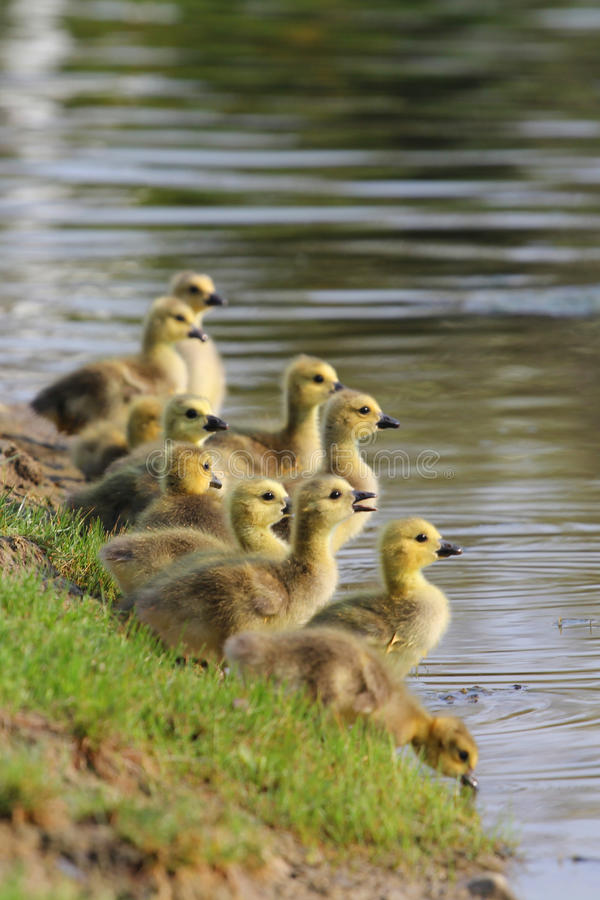 Free Baby Canadian Geese (Goslings) Royalty Free Stock Photography - 58140287