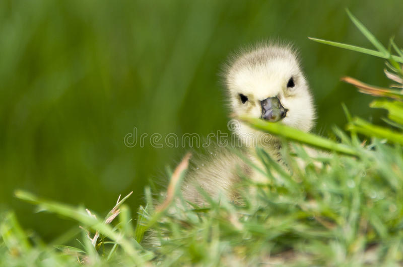 Download Baby Canadian goose stock photo. Image of natural, canadensis - 19789254