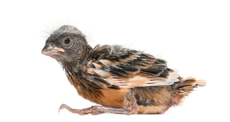 Baby canary, isolated royalty free stock photo