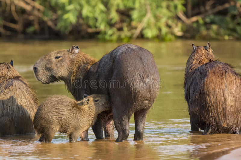 Baby Capybara-Krankenpflege im Fluss stockbild
