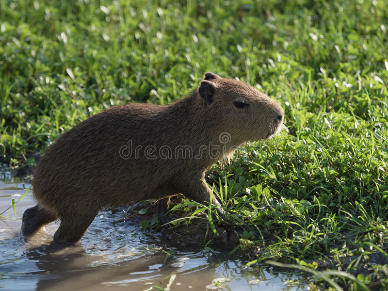 Baby Capybara, the largest rodent royalty free stock image