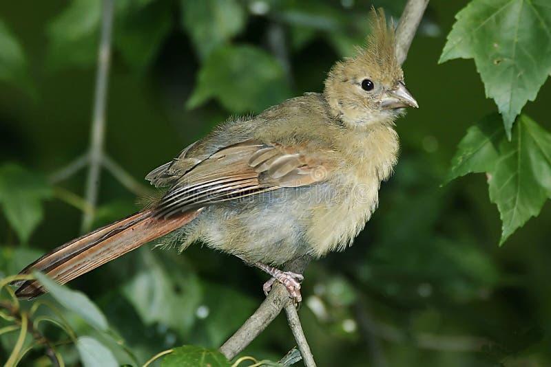 Download Baby Cardinal stock photo. Image of baby, terrirorial, animals - 18042