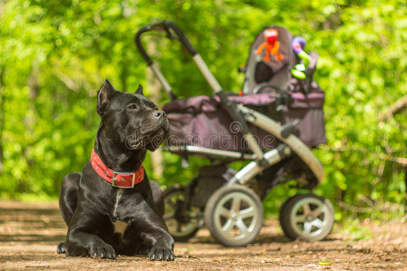 Baby carriage and big black guardian dog royalty free stock photography