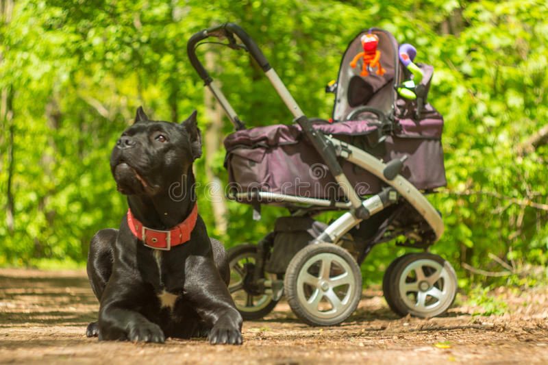 Baby carriage and big guardian dog in the forest park royalty free stock photography