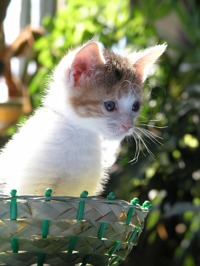 Baby cat. Sweet kitten Mau sits in basket stock photos