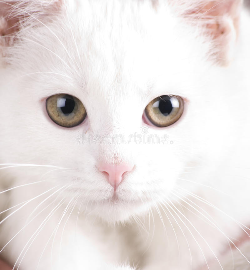 Baby cat portrait royalty free stock images