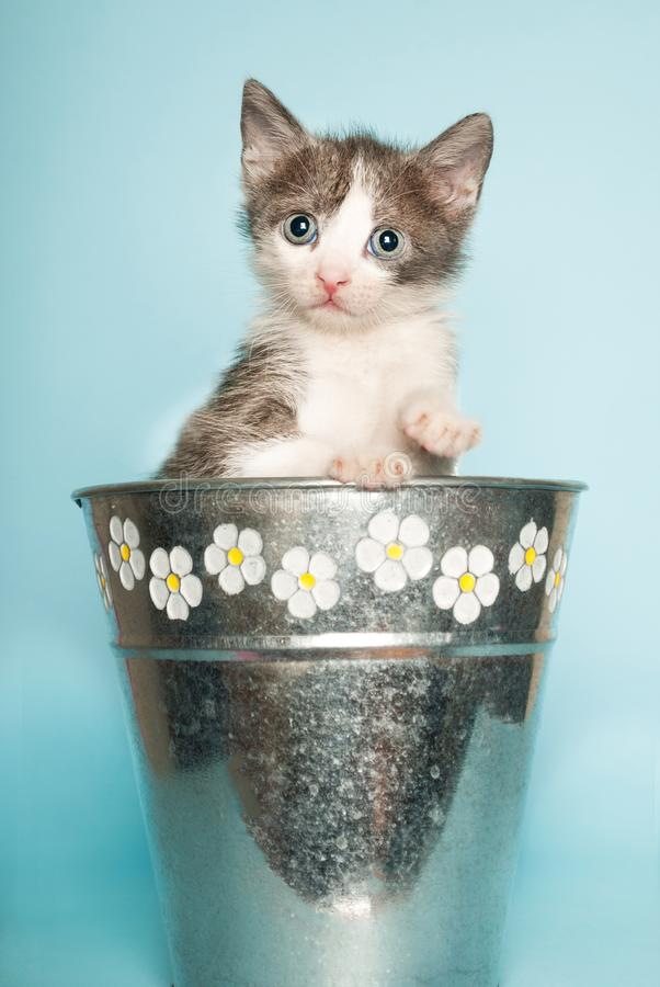 Baby cat in retro bucket flower on blue background royalty free stock photo