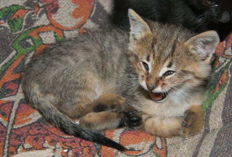 Baby cat yawning royalty free stock photography