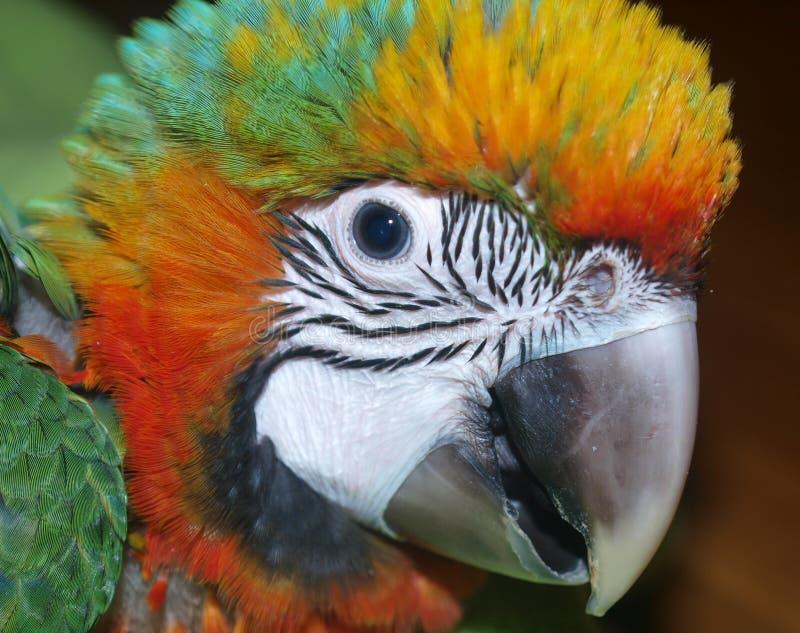 Baby Catalina Macaw royalty-vrije stock foto's