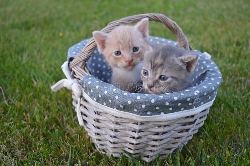 Baby cats on a basket royalty free stock images