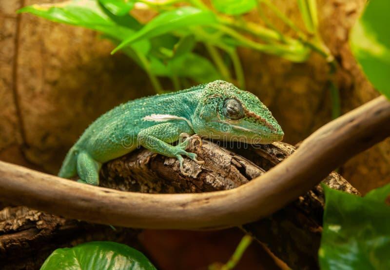 The baby Chameleon or chamaeleon. Sleep on  branch stock images