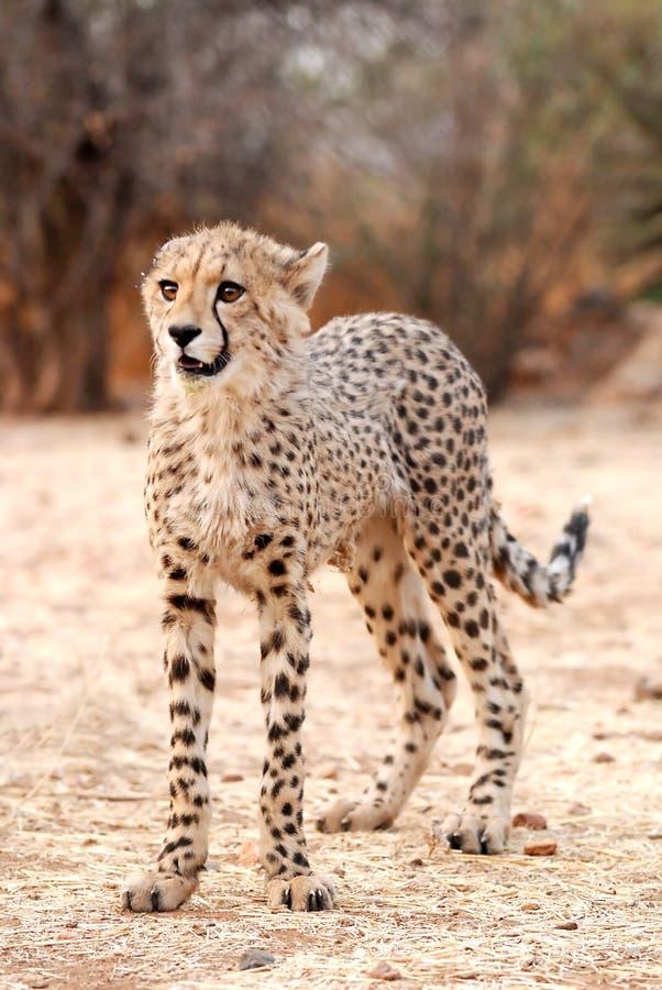 Baby Cheetah (Acinonyx jubatus) stock photo