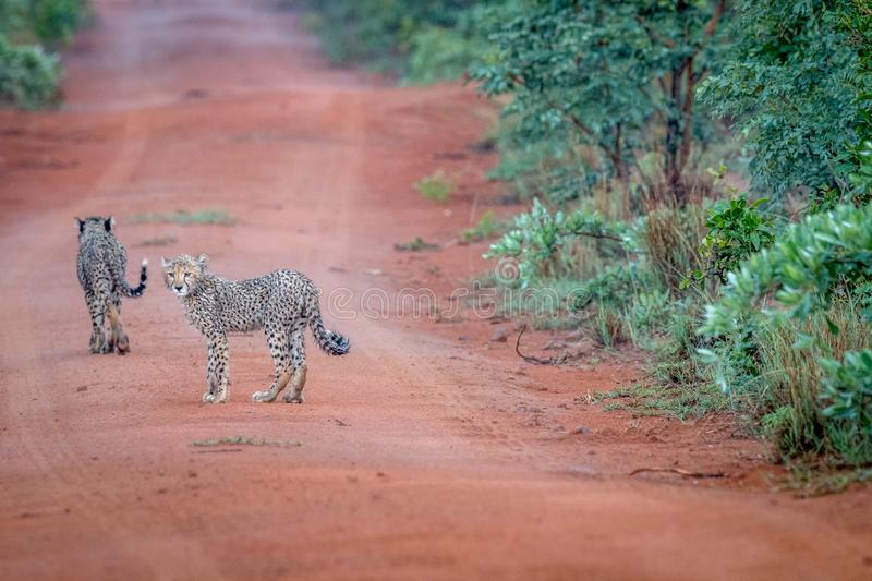 Baby Cheetah standing in the road stock photo