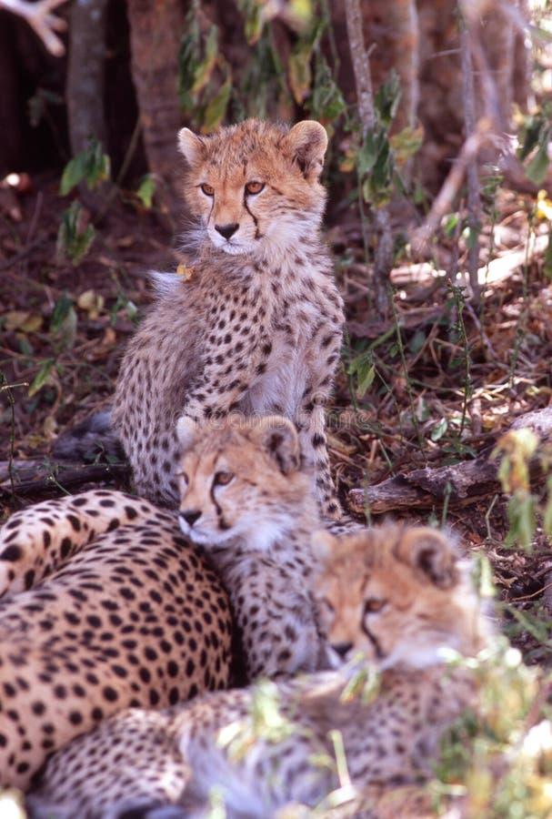 Free Baby Cheetahs, Serengeti Plain, Tanzania Stock Image - 1839341
