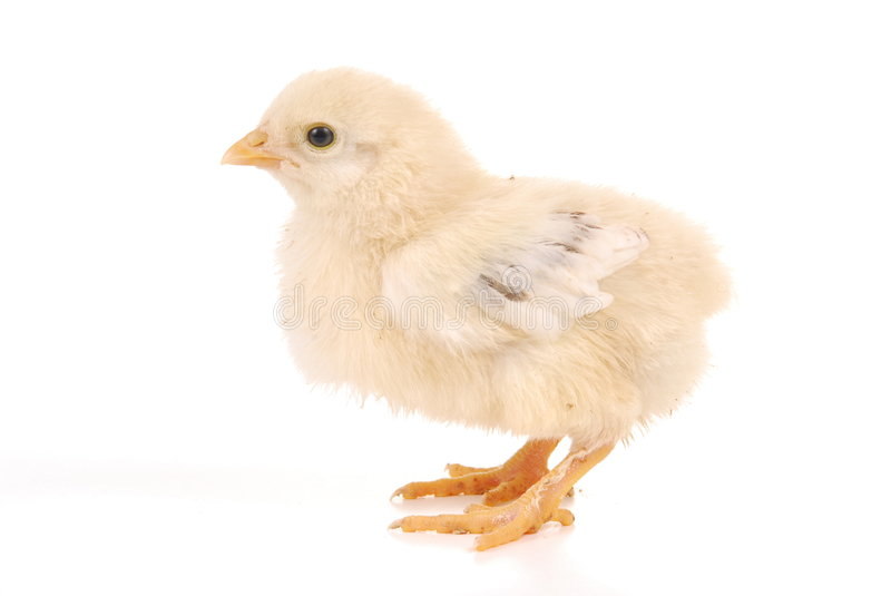 A baby chick royalty free stock photography