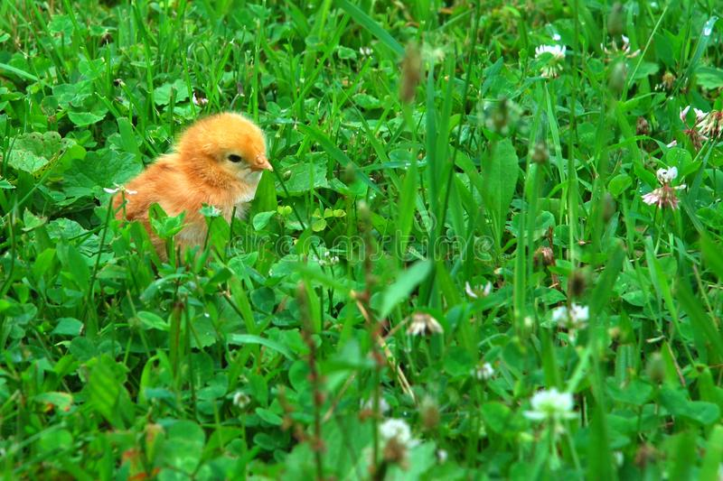A baby chick in grass stock photo