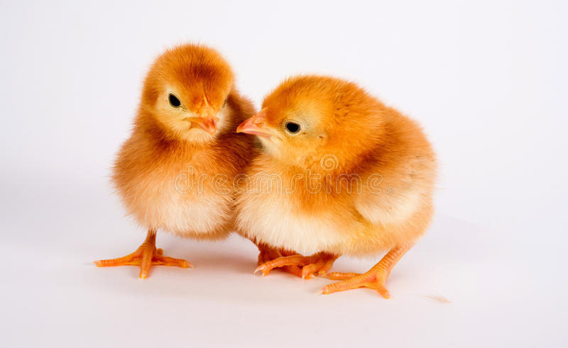 Baby Chick Newborn Farm Chickens Standing White Rhode Island Red. A Rhode Island Red Baby Chicken Stands with Sibling Alone Just a Few Days Old stock image