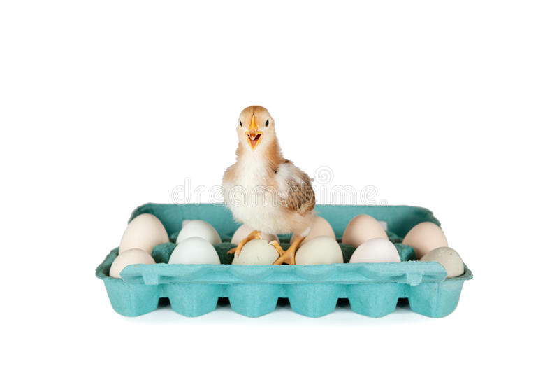 Baby Chick and Organic Eggs. 6 week old baby Rhode Island Red chicken standing on colorful carton of organic eggs isolated on white royalty free stock images