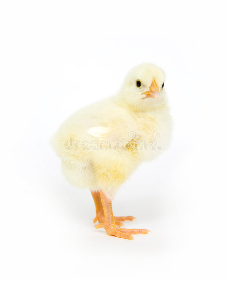 Download Baby chick standing up stock image. Image of rural, legs - 2742933
