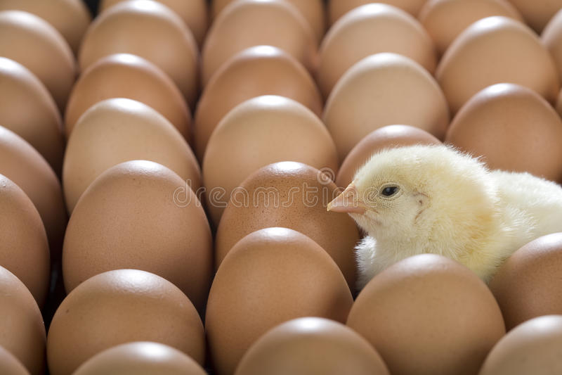 Baby Chicken royalty free stock images