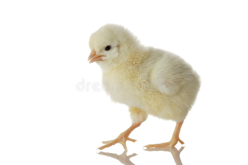 Baby Chicken Stock Image