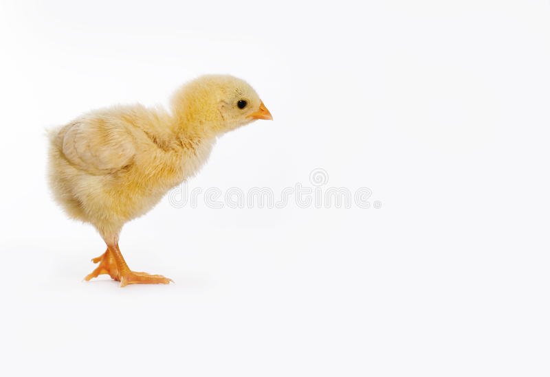 Download Baby chicken stock image. Image of close, spring, beautiful - 35251139
