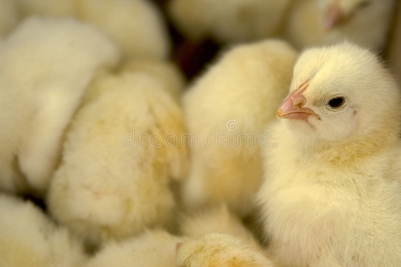 Baby chicken in the box stock photos