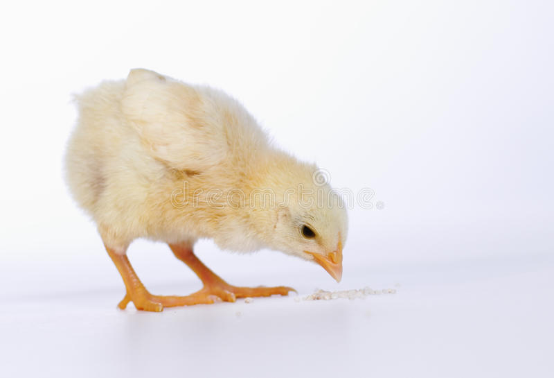 Download Baby chicken having a meal stock image. Image of food - 35251163
