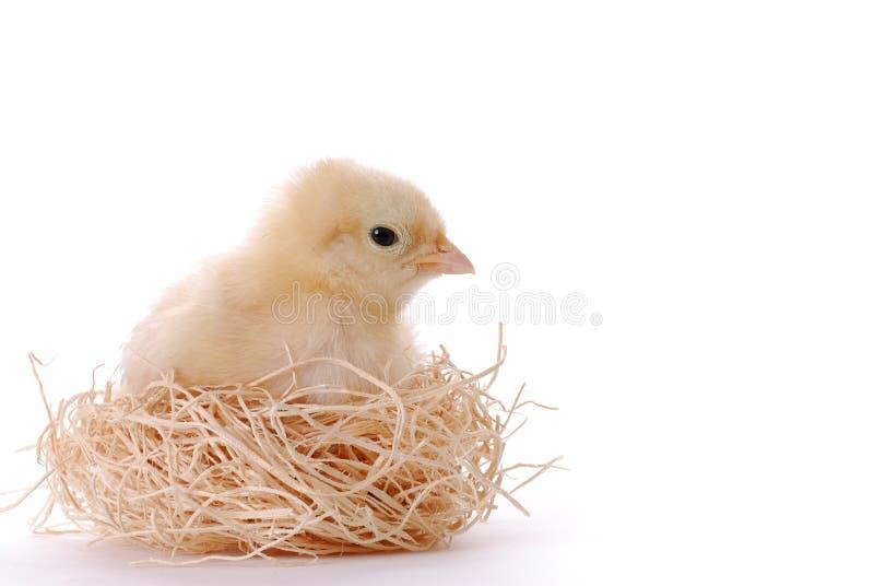 Baby Chicken In Her Nest. Baby chicken sitting in her nest stock images