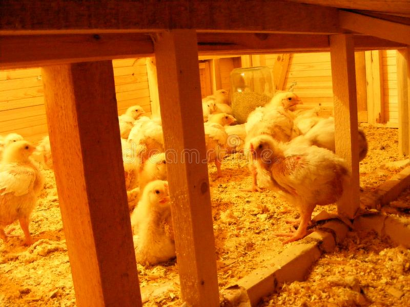 Group of baby chicken in poultry farm, bruder with electricity, chicken coop on a farm royalty free stock photo