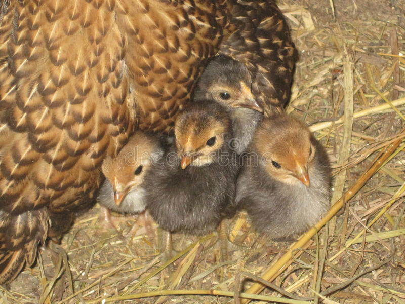 Baby Chicks. Four baby bantam chicks huddled together under their mothers wing royalty free stock photo