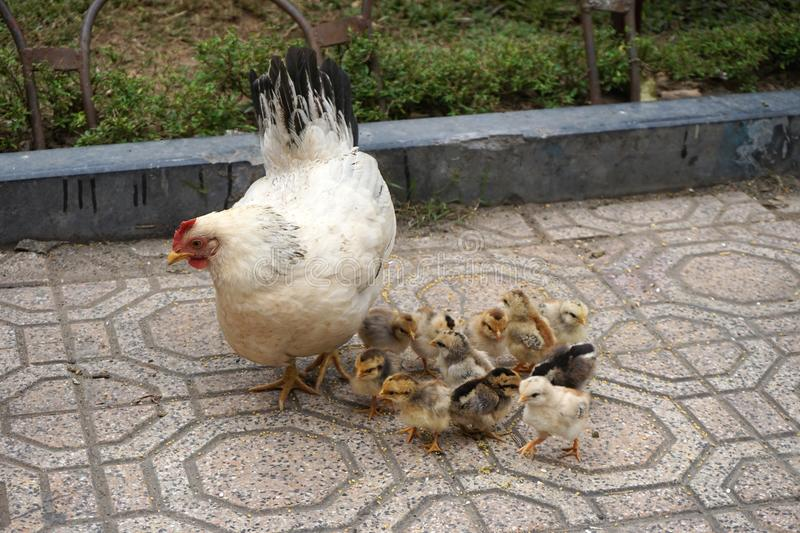 Baby chicks gather around a mother hen on tile sidewalk stock images