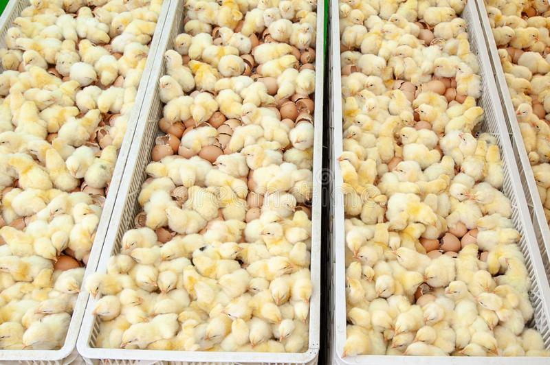 Baby chicks just coming out from Eggs. royalty free stock photography
