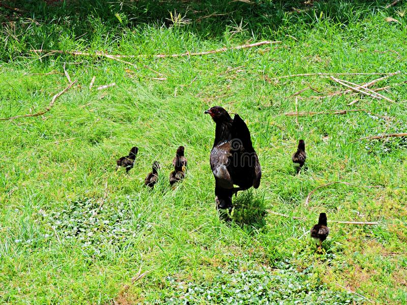 Baby chicks and mother hen royalty free stock photos