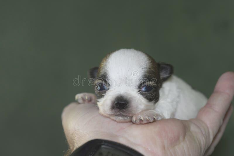 Baby chihuahua stock image