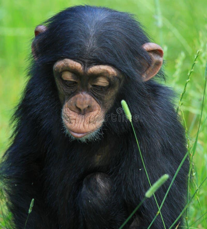Download Baby chimp stock photo. Image of wildlife, monkey, chimpbaby - 10420086