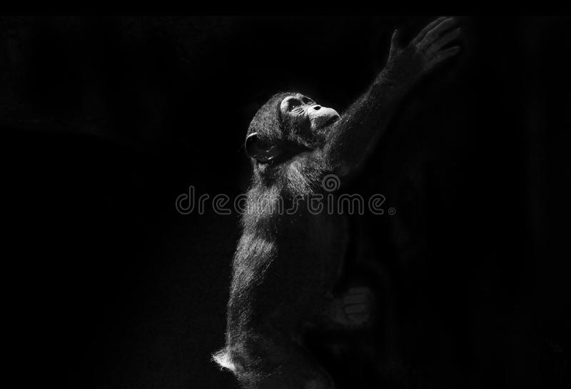 Baby Chimp reaching up royalty free stock images